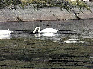 Воронежское лебединое озеро цветет и дурно пахнет