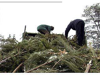 Воронежцев призывают не рубить елки и не покупать их у браконьеров