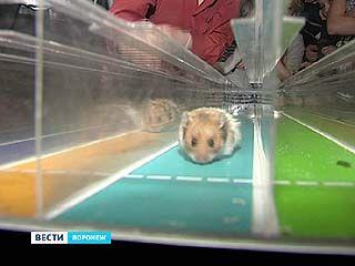 Впервые в Воронеже прошёл открытый чемпионат по хомячьим бегам