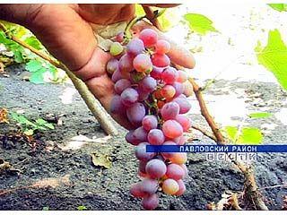Выращивание винограда - это страсть