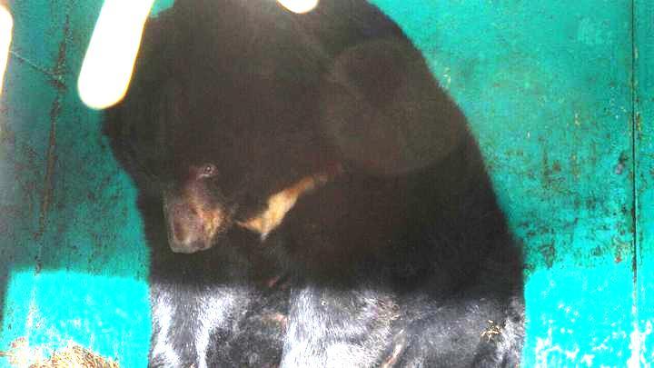 В Воронеже продают пару гималайских медведей из передвижного зоопарка
