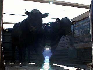 Закуплена первая партия племенных быков абердино-ангусской породы