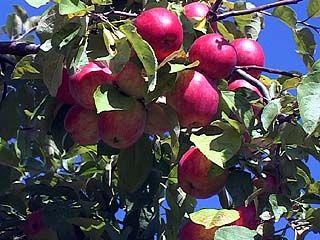 Засуха на урожае яблок в Воронежском регионе не сказалась