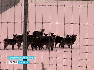 Завезённые в Воронежскую область белохвостые олени, могут быть разносчиками опасной инфекции