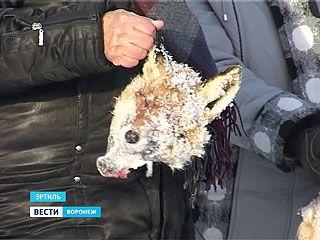 Жители Эртиля обнаружили в овраге хвосты, лапы и головы лис