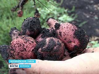 Жители южных районов области в этом году могут остаться без картошки