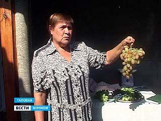 Жительница Таловой обрела интерес к жизни с помощью винограда