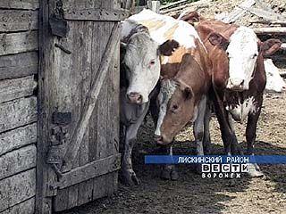 Жителя Лисок придавило коровой