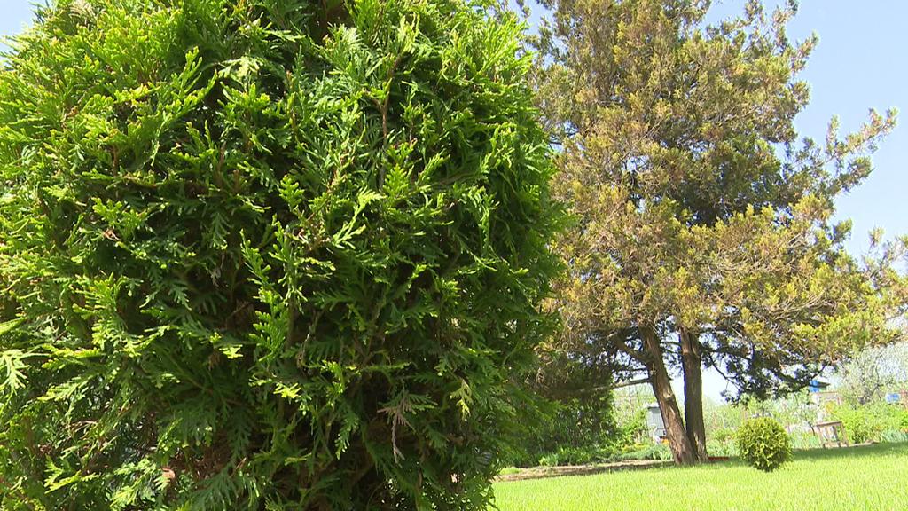 Интересные факты о хвойных растениях в программе «Сезон забот»