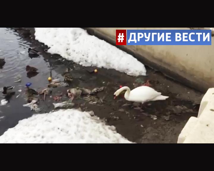 В Казани лебедю пришлось убирать мусор с берега озера, чтобы войти в воду