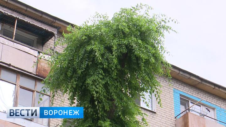 Город без «лёгких». В Воронеже зафиксирован дефицит деревьев