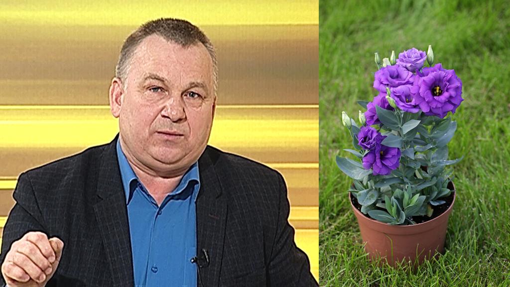 Воронежский агроном рассказал, как вырастить эустому