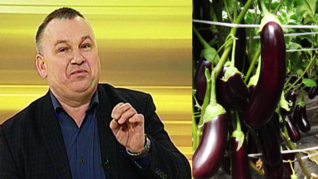 Вся правда о баклажанах от воронежского агронома Ивана Бабина