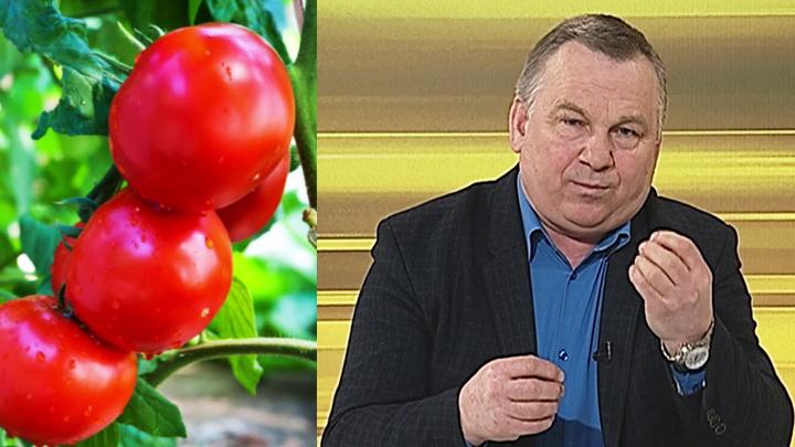 Воронежский агроном рассказал о сортах томатов для выращивания в открытом грунте