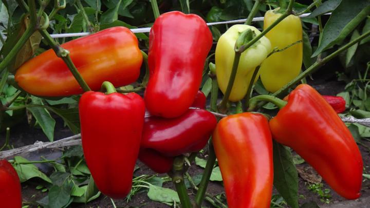 Воронежский агроном Иван Бабин рассказал о новых сортах перца