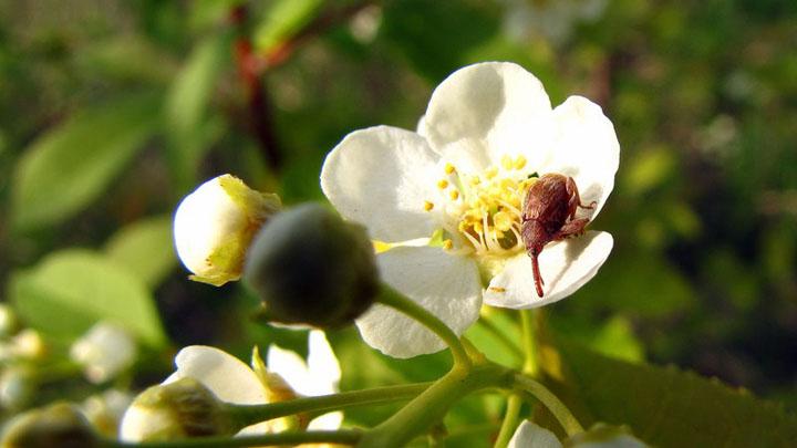 «Сезон забот»: как бороться с жуками-цветоедами