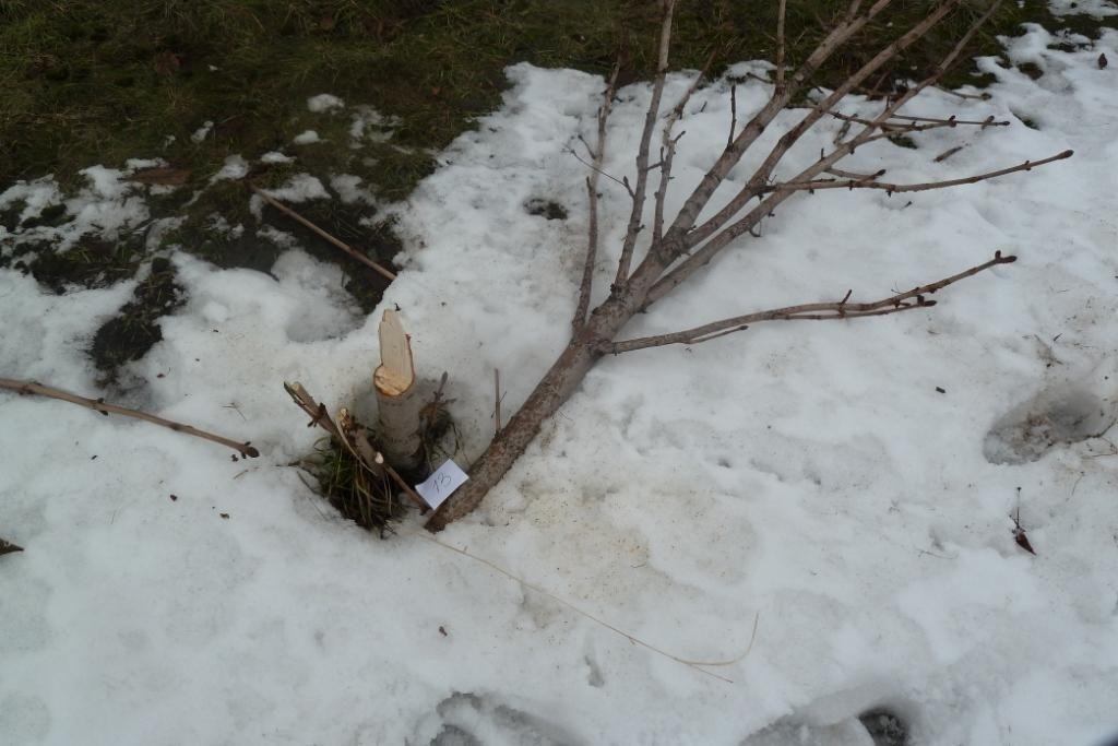 ВВоронеже вандалы вырубили десятки молодых каштанов практически на млн. руб.