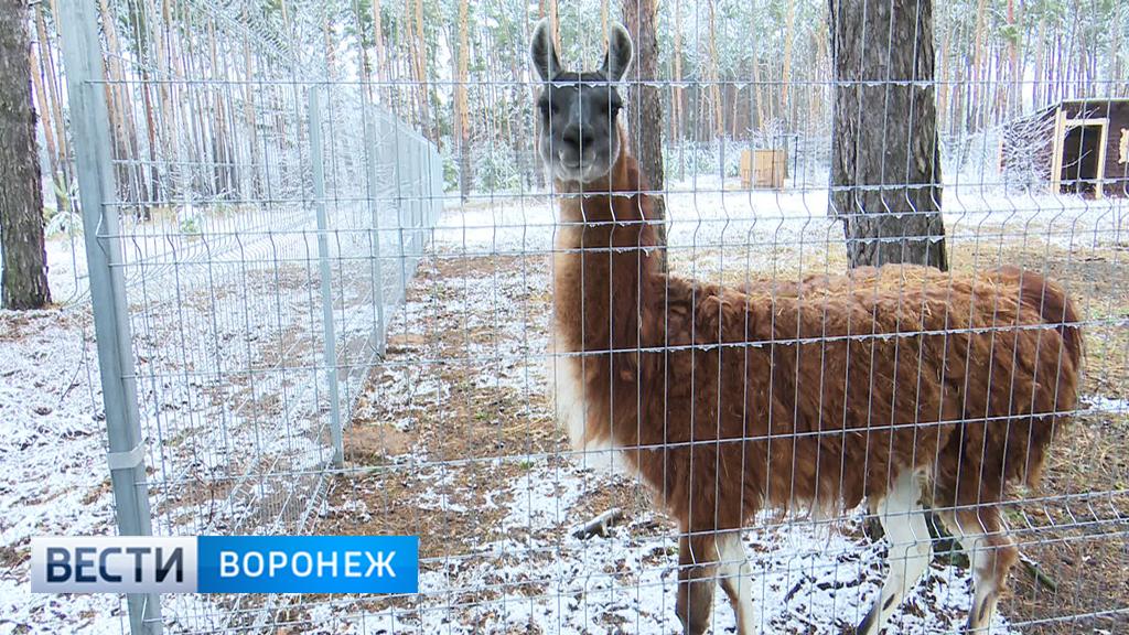 Покличке Фима: зоопарку Воронежа подарили самца гуанако