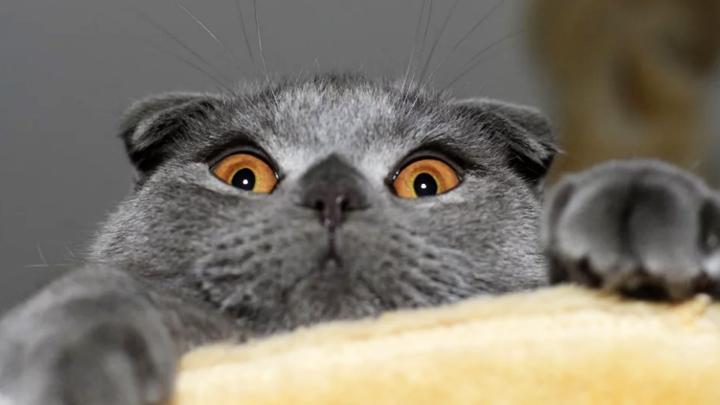 Специалисты назвали самые известные породы кошек вРостове